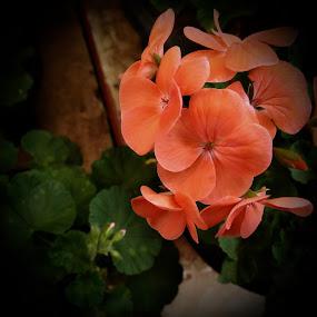 by Ashwathi Madhavan - Flowers Single Flower