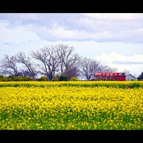 Canola Field, Craigieburn by Sassine El Nabbout - Landscapes Prairies, Meadows & Fields ( australia, canola flowers, victoria, craigieburn, spring )