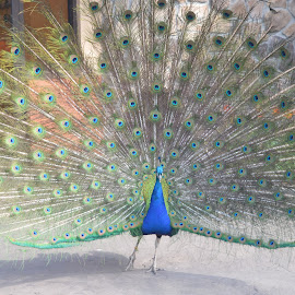 Peacock fan by Michele Kelley - Novices Only Wildlife ( bird, nature, colorful, fan, peacock )