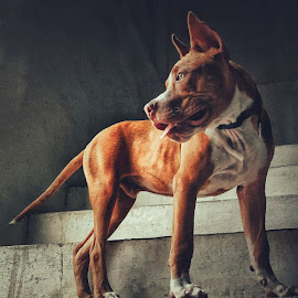 Dog on stairs  by Nishant Mishra - Animals - Dogs Portraits ( calm, animal, focus, observing, dog )