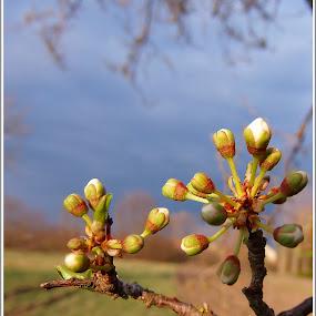 Rügyfakadás by Zlatko Sarcevic - Nature Up Close Trees & Bushes ( fák, macró, tavasz, rügyek, táj,  )