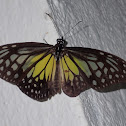 Glassy Yellow Tiger  Butterfly