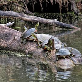 Turtles sunning one October morning by Rita Flohr - Animals Reptiles ( sx50, water, turtles, log, turtle )