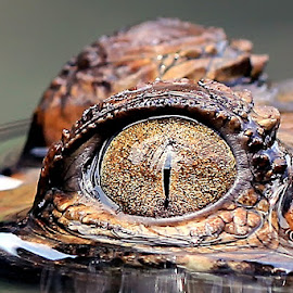 eye by Sandi Nopri yanto - Animals Reptiles ( macro, crocodile, eye, animal )