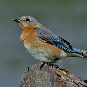 Lady Blue by Howard Sharper - Animals Birds ( nature, bird photography, nature up close, blue bird, wildlife,  )