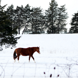 Snow Horse by Leah Zisserson - Animals Horses ( fence, pasture, horse, snow, virginia )