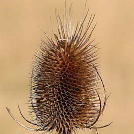 Teasel Portrait by Chrissie Barrow - Nature Up Close Other plants ( plant, old, spikes, prickly, brown, teasel, bokeh, portrait, seedhead )