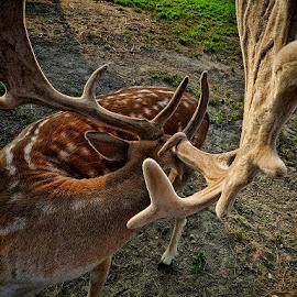 jelen by Dunja Kolar - Animals Other ( croatia, krasograd, jelen )