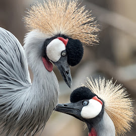 Grey Crowned Cranes by Kathleen Otto - Animals Birds