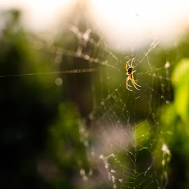 The morning spider by Harjot Singh - Nature Up Close Webs ( macro, nature, spider, web, bokeh, golden hour )