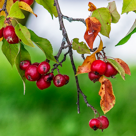 crabapples by Lennie L. - Nature Up Close Gardens & Produce