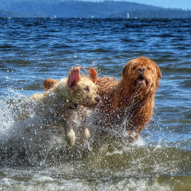 Beach run. by Brenda Baird - Animals - Dogs Playing