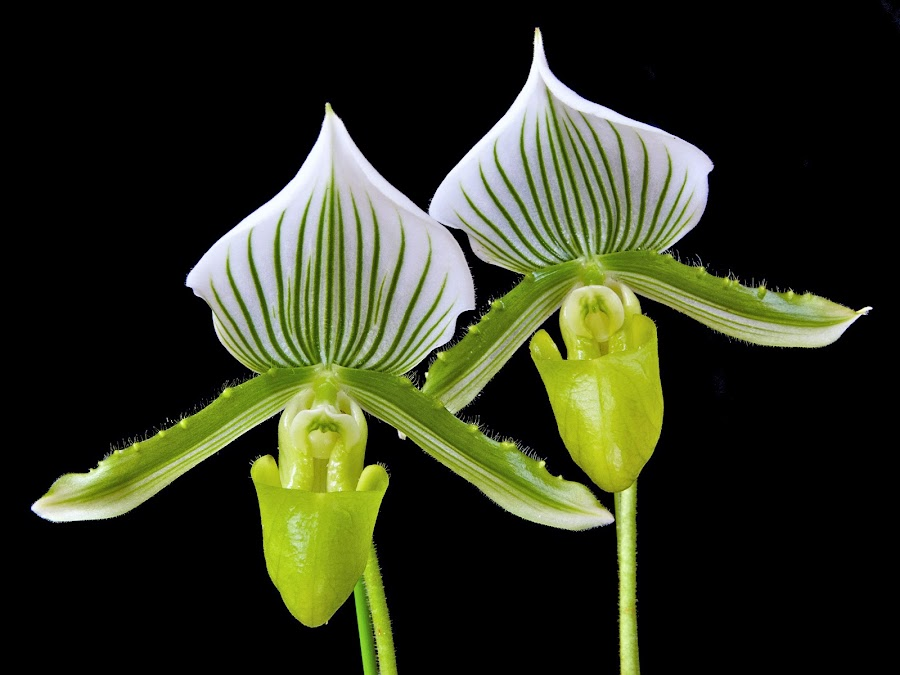 Paphiopedilum Maudiae by Paul Atkinson - Nature Up Close Flowers - 2011-2013 ( paphiopedilum, paph, slipper, nature, orchid, tropical, beauty, flower, floral )