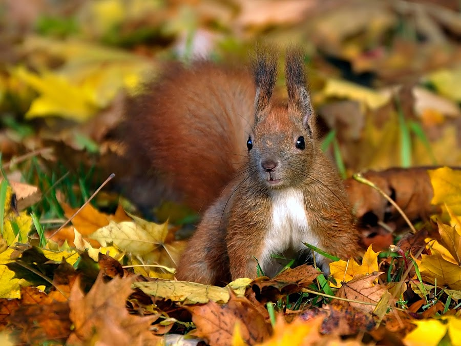 Autumn squirrel by Gabriel Catalin - Animals Other Mammals