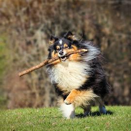 by Jane Bjerkli - Animals - Dogs Playing