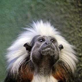 Tamarin by Dustin Wawryk - Animals Other Mammals
