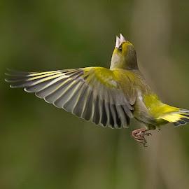 by Svein Christiansen - Animals Birds