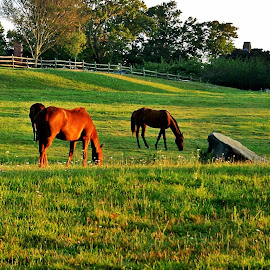 Sunrise Horse Farm  Newport R.I. by Martin Stepalavich - Animals Horses