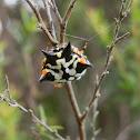 Australian Jewel Spider - female