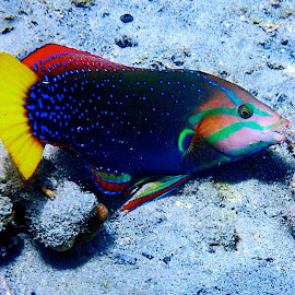 Yellow tail coris by Tatiana Gonnason - Animals Fish
