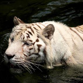 White Tiger by Kai Jian - Animals Lions, Tigers & Big Cats