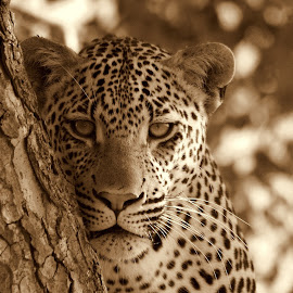 leopard by Charles Hudson - Animals Lions, Tigers & Big Cats ( south africa, bush, kruger, portrait, leopard,  )