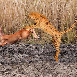 Chita by Jaysinh Parmar - Digital Art Animals