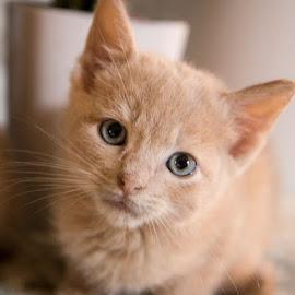 Chicken Nugget by Brook Kornegay - Animals - Cats Kittens ( cat, kitten, buff, feline, portrait,  )