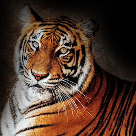 Tiger by Kusal Gautamadasa - Animals Lions, Tigers & Big Cats ( cat, bengal tiger )
