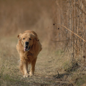 Wait for me.... by Cristobal Garciaferro Rubio - Animals - Dogs Running ( runner, dog, golden, golden retriever )