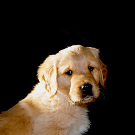 Chuck by Paul Frese - Animals - Dogs Puppies ( cute puppy, sunshine, baby, cute dog, puppy portrait )
