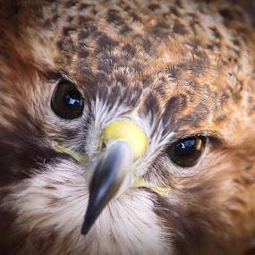 Portrait of a Hawk  by Amanda  Castleman  - Animals Birds ( bird, nature, beak, feathers, eyes, animal, hawk,  )