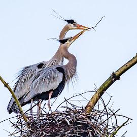 Great Blue Herons Nesting by Carl Albro - Animals Birds ( great blue heron, bird, stick, nesting, nest, wildlife )