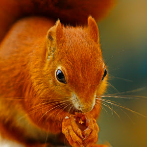 _MG_3045RedSquirrelbwc.jpg