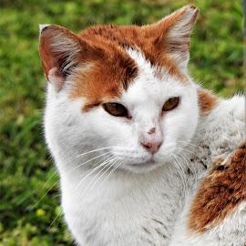 by Betty Taylor - Animals - Cats Portraits ( pets, cat portrait, fur, cat )