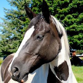 Horse Headshot by Barbara Brock - Animals Horses ( black and white horse, equine, horse head, horse profile, farm animal, beautiful horse )