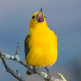 Let me Sing You a Melody by Kimberly Sharp - Uncategorized All Uncategorized ( prothonotary warbler, yellow bird, bird photo, small bird, singing, bird photography, bird, yellow, branch, wild, warbler, wildlife )