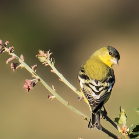 Lesser Goldfinch by Susan and Arwinder Nagi - Animals Birds ( nature, nature scenes, lesser goldfinch, birds, birding, birds of north america, goldfinch, nature images, birds of california, bird photography, perching birds, finches, california wildlife, wildlife,  )