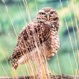 Burrowing Owl by Dave Lipchen - Digital Art Animals ( burrowing owl )