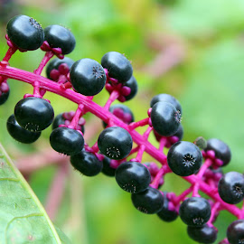 by Lenora Popa - Food & Drink Fruits & Vegetables ( macro, fruit, nature, nature up close, berries )