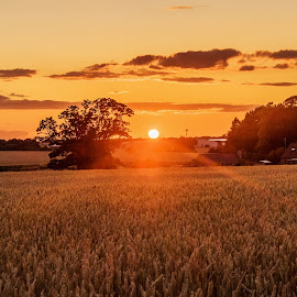 Fields of Gold by Neil Torr - Landscapes Sunsets & Sunrises ( wheat, sky, barley, tree, sunset, gold, sun )