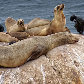 Seals On The Rocks by Alice Gipson - Animals Sea Creatures ( seals, coronado beach seals, coronado beach, alicegipsonphotographs )