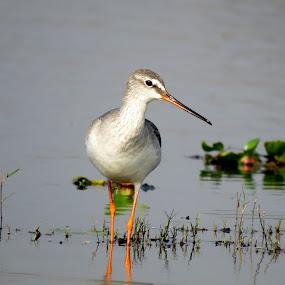 Marsh Sandpiper by Mainak Adak - Animals Birds ( bird shots, wildlife, nature photography, nature close up, bird photography,  )