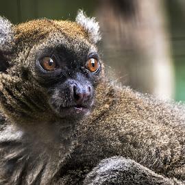 Collared Lemur by Chaz Clark - Animals Other Mammals ( orange eye's, wildlife park, captive, lemur, mammal, eyes )
