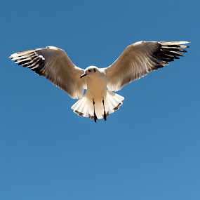 Seagull by Hezi Shohat - Animals Birds ( bird, peru, d7100, puno, nikon )