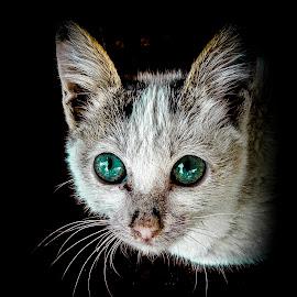 Those Eyes! by Richard Michael Lingo - Animals - Cats Portraits ( cats, mammals, animals, portrait, eyes,  )
