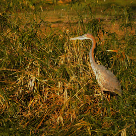 Ready for the Day's work by Christo W. Meyer - Novices Only Wildlife ( bird, wildlife, sunrise, africa, purple heron )