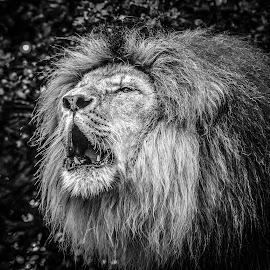 Lion roar by Garry Chisholm - Black & White Animals ( big cat, garry chisholm, lion, nature, wildlife )