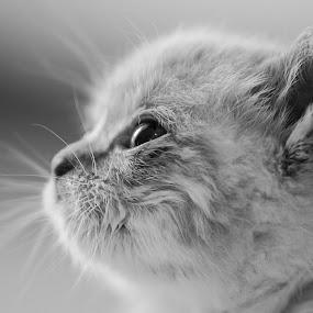 Baloo the kitten by Massimo Izzo - Animals - Cats Kittens ( love, kitten, cat, fluffy, tender, animal )