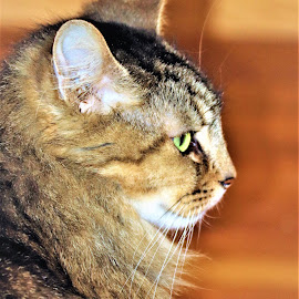 Jamey by Linda    L Tatler - Animals - Cats Portraits (  )